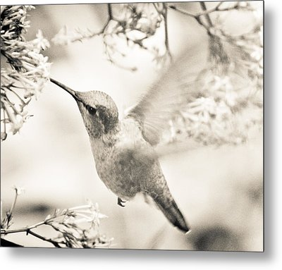 Metal Print featuring the photograph Hummingbird At The Valerian by Ronda Broatch