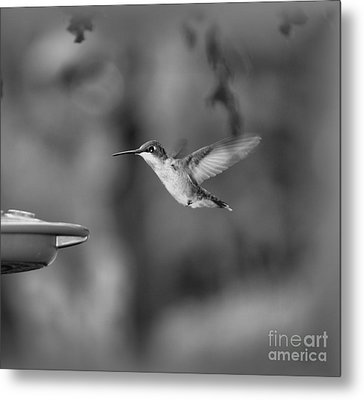 Hummingbird  Black And White Metal Print by Donna Brown