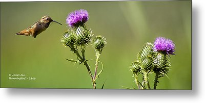 Hummingbird In Flight - Milkweed Thistle Metal Print by James Ahn