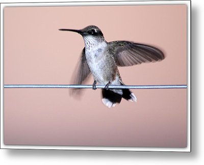 Hummingbird On A Wire Metal Print by Wind Home Photography