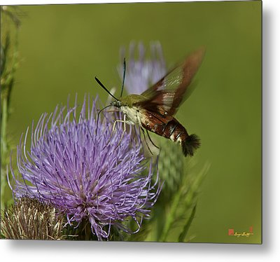 Hummingbird Or Clearwing Moth Din178 Metal Print by Gerry Gantt