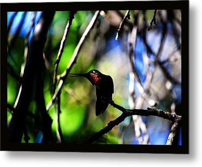 Metal Print featuring the photograph Hummingbird Resting On A Twig by Susanne Still
