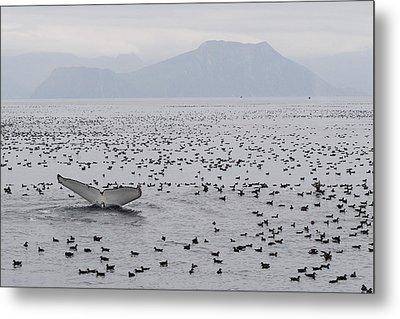 Humpback Whale Diving Amid Seabirds Metal Print by Flip Nicklin