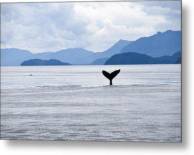 Humpback Whale Megaptera Novaeangliae Metal Print by James Forte