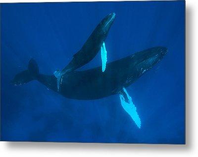 Humpback Whale, Megaptera Novaeangliae Metal Print by Mauricio Handler