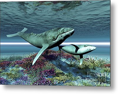Humpback Whale Mother And Calf Swim Metal Print by Corey Ford