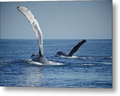 Humpback Whale Pectoral Slap Maui Metal Print