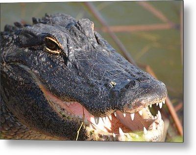 Hungry Gator Metal Print by Susan McNamara