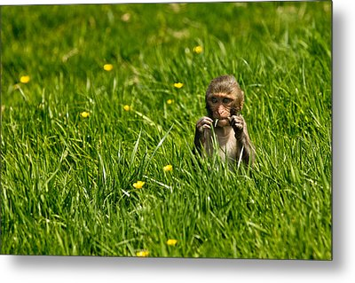 Metal Print featuring the photograph Hungry Monkey by Justin Albrecht