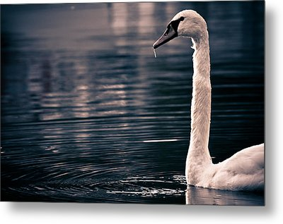Metal Print featuring the photograph Hungry Swan by Justin Albrecht