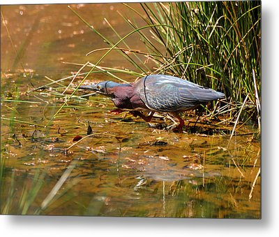 Hunting Green Heron - C9822b Metal Print by Paul Lyndon Phillips