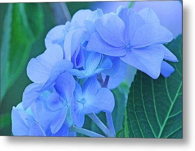 Hydrangea Blue Metal Print by Becky Lodes
