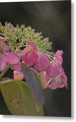 Hydrangea Metal Print by Lisa Missenda