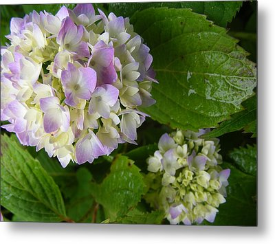 Hydrangeas-soon To Be Metal Print