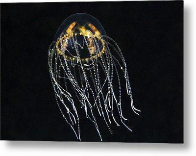 Hydrozoan Medusa Metal Print by Alexander Semenov