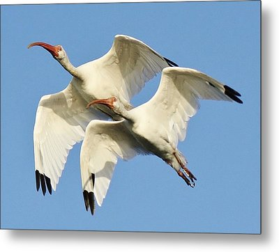 Ibis In Flight Metal Print by Paulette Thomas
