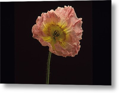 Metal Print featuring the photograph Iceland Poppy 3 by Susan Rovira