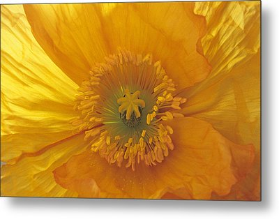 Metal Print featuring the photograph Iceland Poppy 4 by Susan Rovira