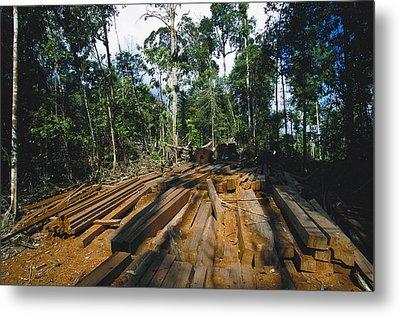 Illegal Logging Site, Felled Trees Metal Print by Tim Laman