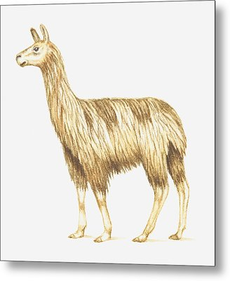 Illustration Of A Llama Metal Print