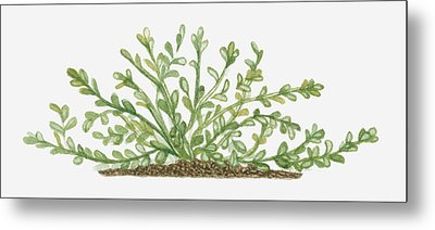 Illustration Of Bacopa (waterhyssop) Bearing Succulent Oblanceolate Green Leaves On Creeping Stems Metal Print by Joanne Cowne
