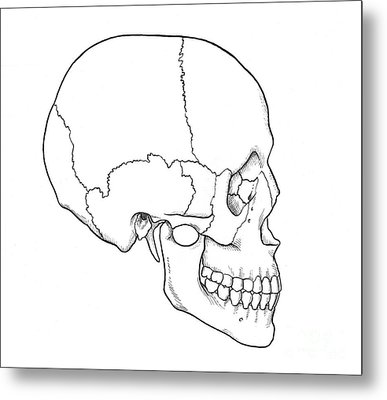 Illustration Of Human Skull Metal Print by Science Source