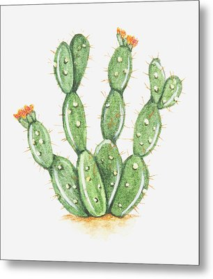 Illustration Of Opuntia Sp (prickly Pear Cactus) In Bloom Metal Print by Dorling Kindersley