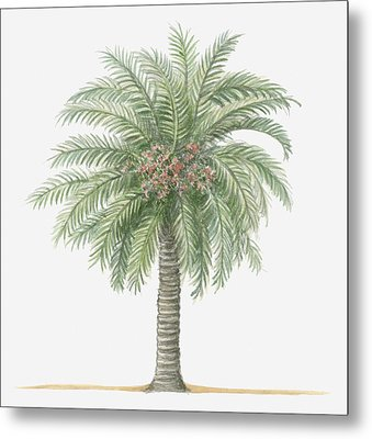 Illustration Of Phoenix Canariensis (canary Island Date Palm) Bearing Fruit Amid Green Palm Leaves Metal Print