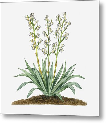 Illustration Of Yucca Baccata (datil Yucca, Banana Yucca) Bearing White Hanging Flowers On Long Stems With Long Green Leaves Metal Print by Michelle Ross