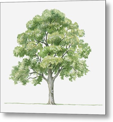 Illustration Showing Shape Of Quercus Ilex (holm Oak) Tree Bearing Green Foliage Metal Print by Dorling Kindersley