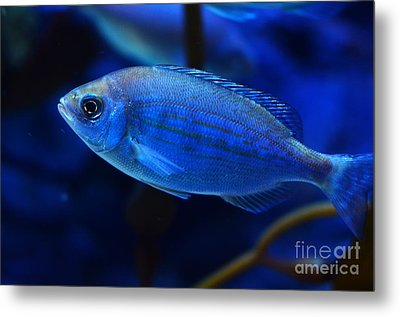 In Blue Waters Metal Print by Pravine Chester