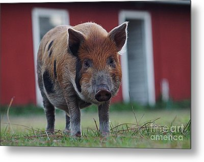 In Front Of The Red Barn Metal Print by Lynda Dawson-Youngclaus