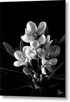 Indian Hawthorn In Black And White Metal Print by Endre Balogh