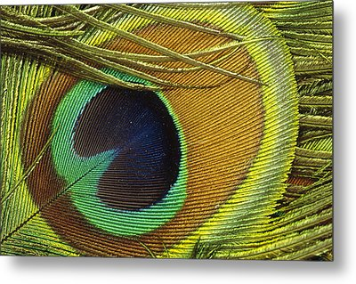 Indian Peafowl Pavo Cristatus Male Metal Print by Gerry Ellis
