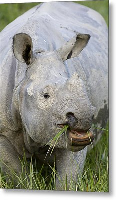 Indian Rhinoceros Grazing Kaziranga Metal Print
