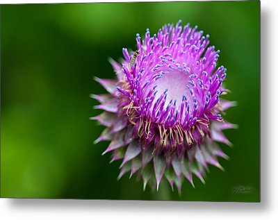 Indiana Purple Thistle Flower Metal Print by Melissa Wyatt