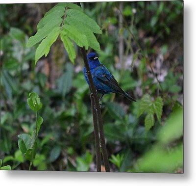 Indigo Bunting Surprise Metal Print by Mary Zeman