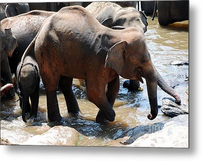 Metal Print featuring the photograph Injured Elephant  by Pravine Chester