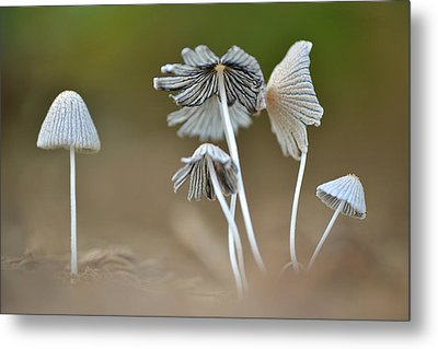 Metal Print featuring the photograph Ink-cap Mushrooms by JD Grimes