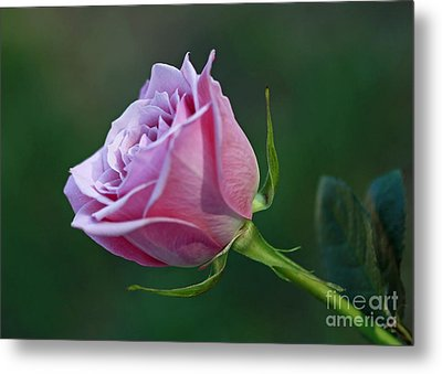 Innocence At Sunrise- Pink Rose Blossom Metal Print by Inspired Nature Photography Fine Art Photography
