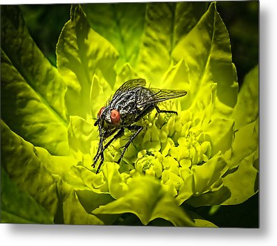 Insect Up Close - Summer Fly Sunbathing On A Yellow Perennial Garden Plant - Macro Photography Metal Print by Chantal PhotoPix