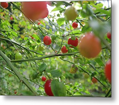 Inside The Red Huckleberry Metal Print by Kym Backland
