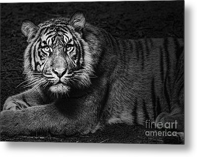 Intent Metal Print by Andrew Paranavitana