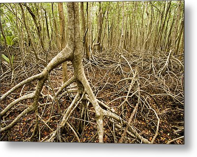 Interior Views Of Tall Mangrove Forest Metal Print