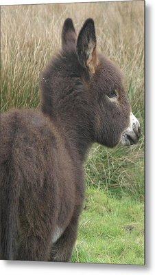 Irish Donkey Foal Metal Print by Joseph Doyle