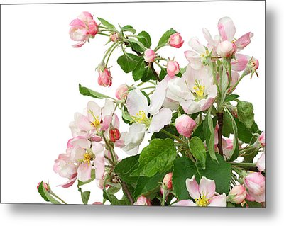 Metal Print featuring the photograph Isolated Pink Apple Flowers by Aleksandr Volkov