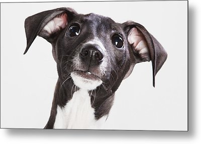 Italian Greyhound Puppy Spruce Grove Metal Print by Leah Bignell