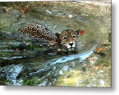 Metal Print featuring the photograph Jaguar In For A Swim by Kathy  White