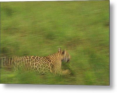 Jaguar Panthera Onca Running Metal Print by Claus Meyer