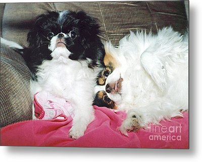 Japanese Chin Dogs Begging For Treats Metal Print by Jim Fitzpatrick